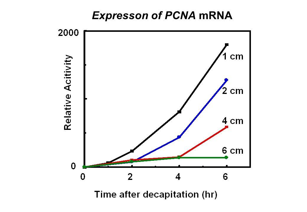 Expresson of PCNA mRNA