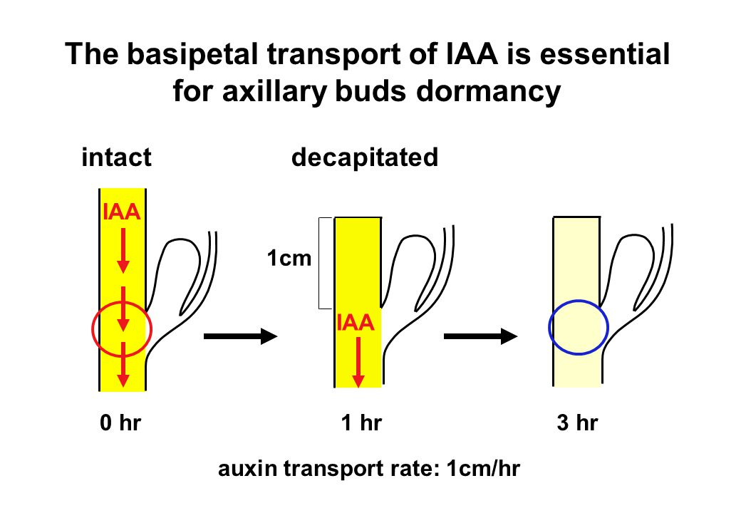 The basipetal transport of IAA is essential for axillary buds dormancy intact IAA 0 hr decapitated IAA 1cm 1 hr 3 hr auxin transport rate: 1cm/hr