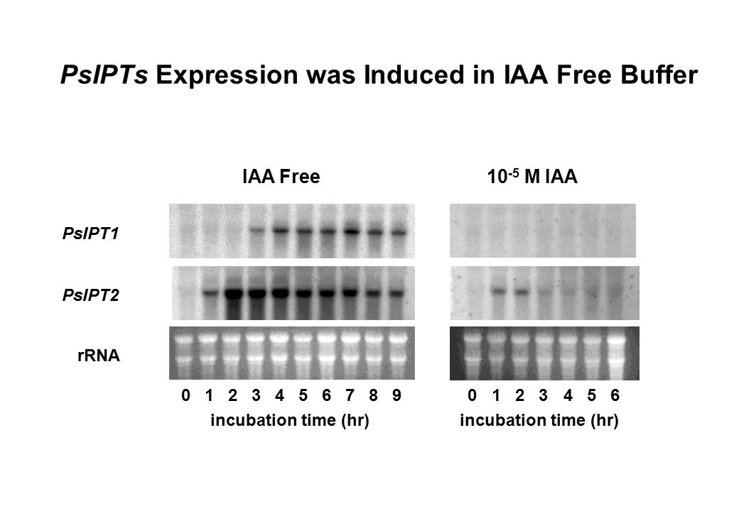 PsIPTs Expression was Induced in IAA Free Buffer IAA Free 10 -5 M IAA 0165432 incubation time (hr) 0165432987 PsIPT1 PsIPT2 rRNA