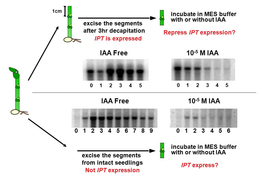 excise the segments from intact seedlings Not IPT expression incubate in MES buffer with or without IAA IPT express? excise the segments after 3hr dec