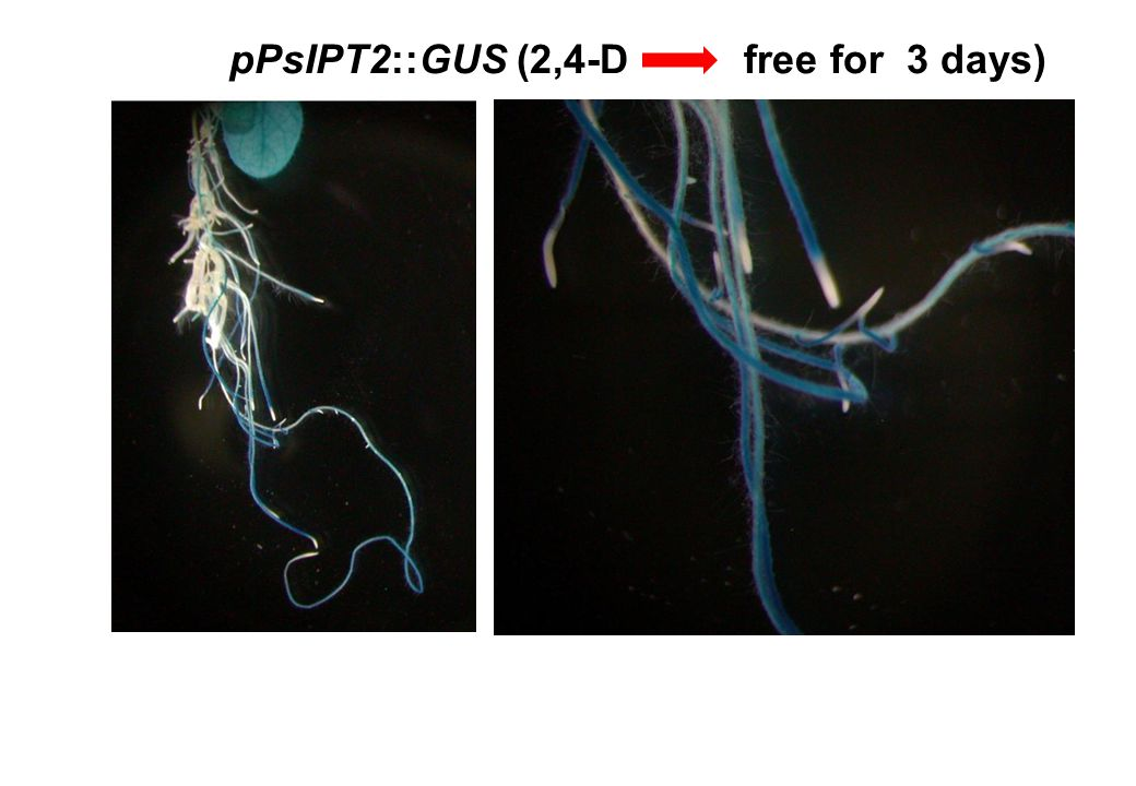 pPsIPT2::GUS (2,4-D free for 3 days)