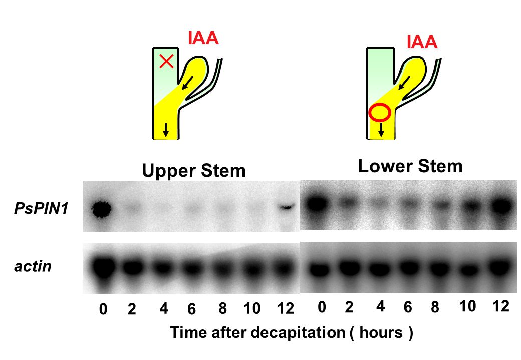 Time after decapitation ( hours ) PsPIN1 actin 0 2 4 6 8 10 12 0 2 4 6 8 10 12 IAA × Upper Stem IAA Lower Stem