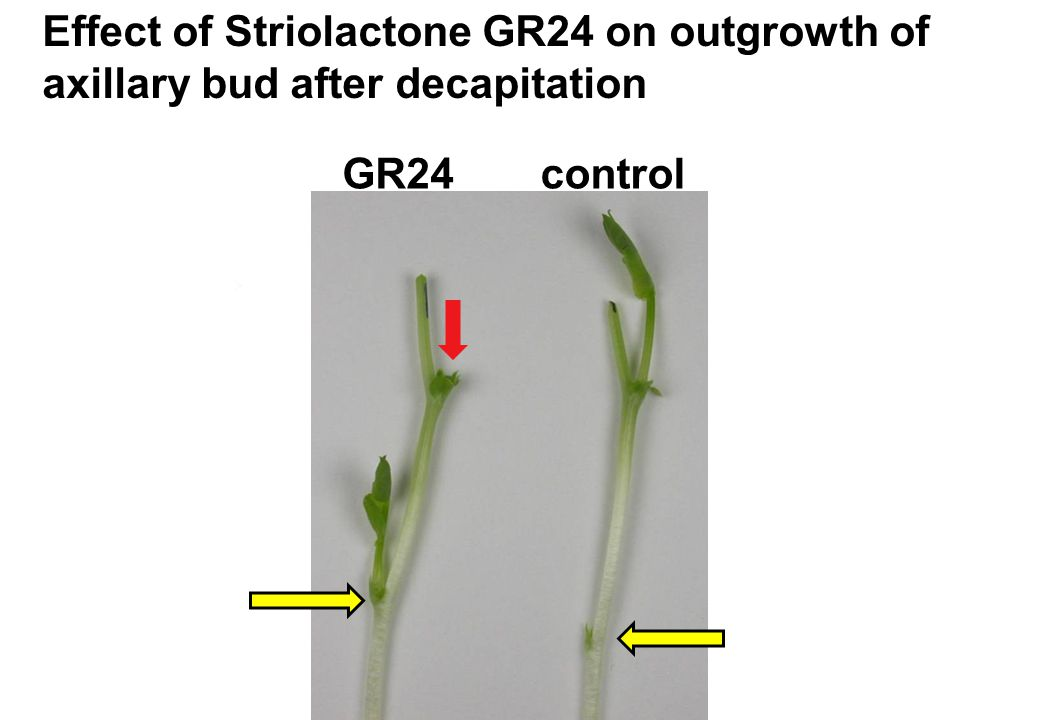 Effect of Striolactone GR24 on outgrowth of axillary bud after decapitation GR24control