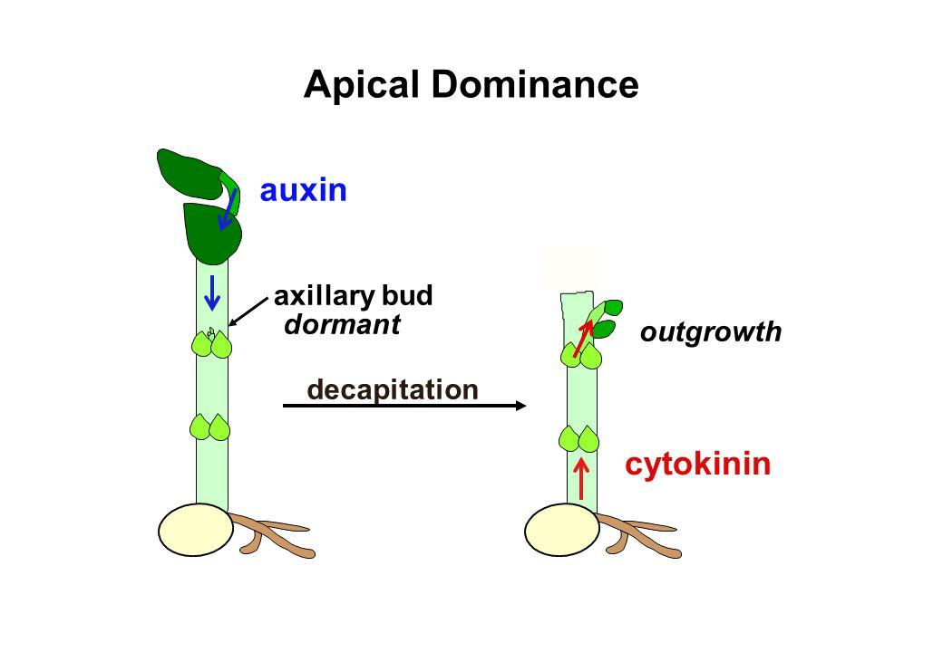 auxin axillary bud dormant decapitation Apical Dominance cytokinin outgrowth