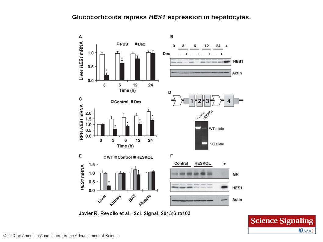 Glucocorticoids repress HES1 expression in hepatocytes. Javier R. Revollo et al., Sci. Signal. 2013;6:ra103 ©2013 by American Association for the Adva