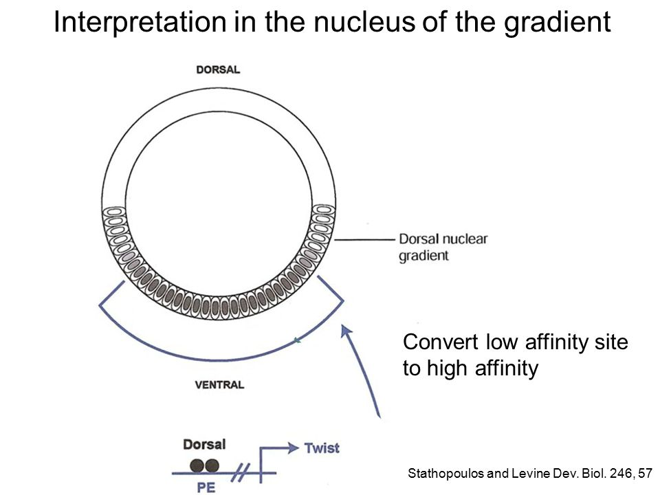 Interpretation in the nucleus of the gradient Convert low affinity site to high affinity Stathopoulos and Levine Dev.