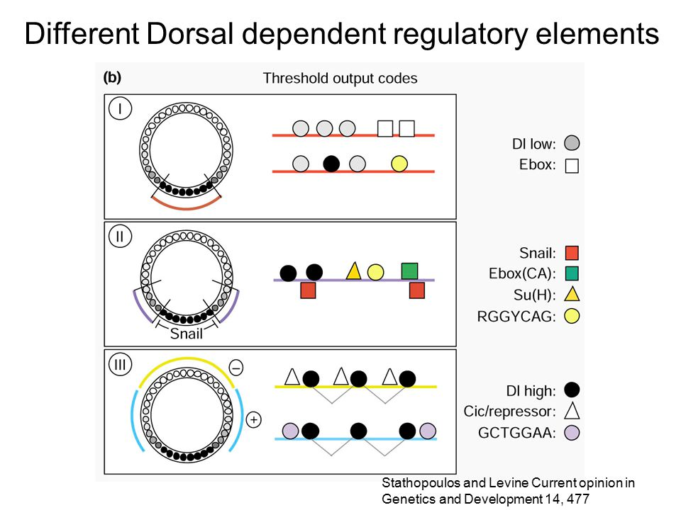 Different Dorsal dependent regulatory elements Stathopoulos and Levine Current opinion in Genetics and Development 14, 477