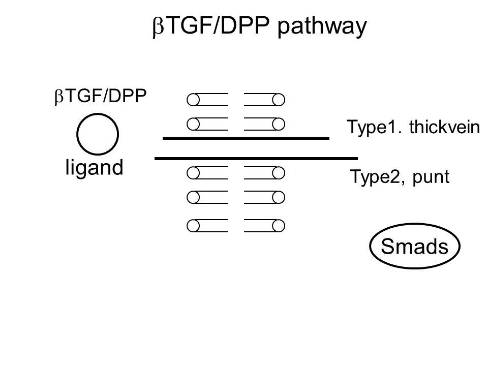  TGF/DPP pathway  TGF/DPP ligand Type1. thickvein Type2, punt Smads