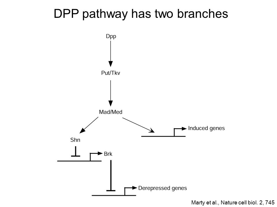 DPP pathway has two branches Marty et al., Nature cell biol. 2, 745