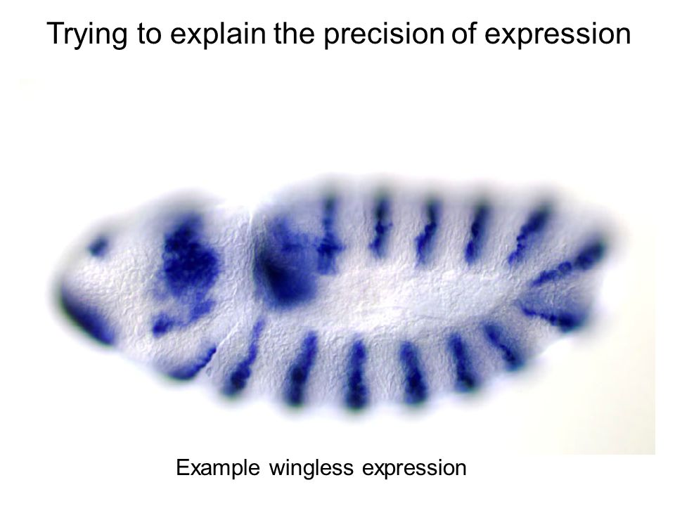 Trying to explain the precision of expression Example wingless expression