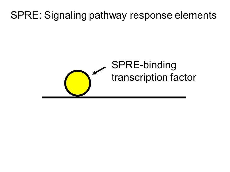 SPRE-binding transcription factor SPRE: Signaling pathway response elements