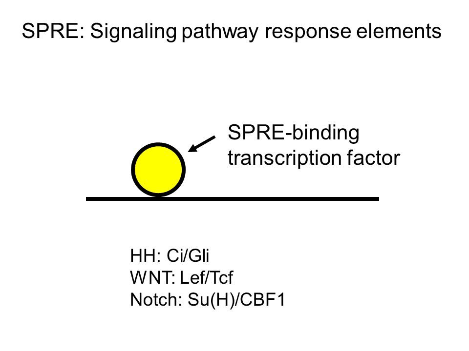 SPRE-binding transcription factor SPRE: Signaling pathway response elements HH: Ci/Gli WNT: Lef/Tcf Notch: Su(H)/CBF1