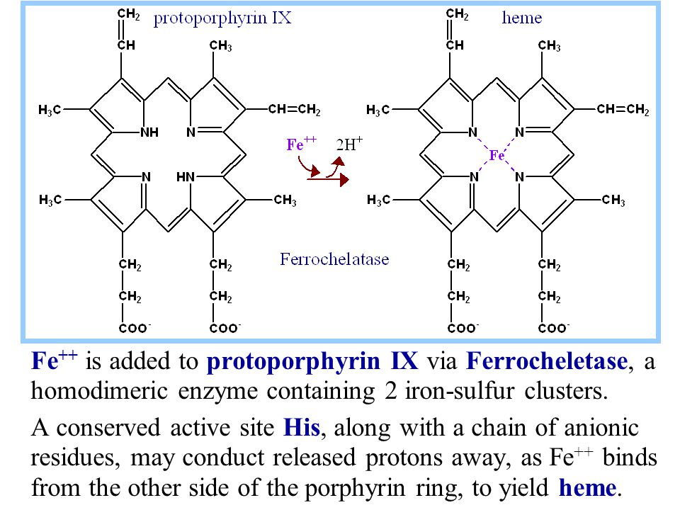 Fe ++ is added to protoporphyrin IX via Ferrocheletase, a homodimeric enzyme containing 2 iron-sulfur clusters.