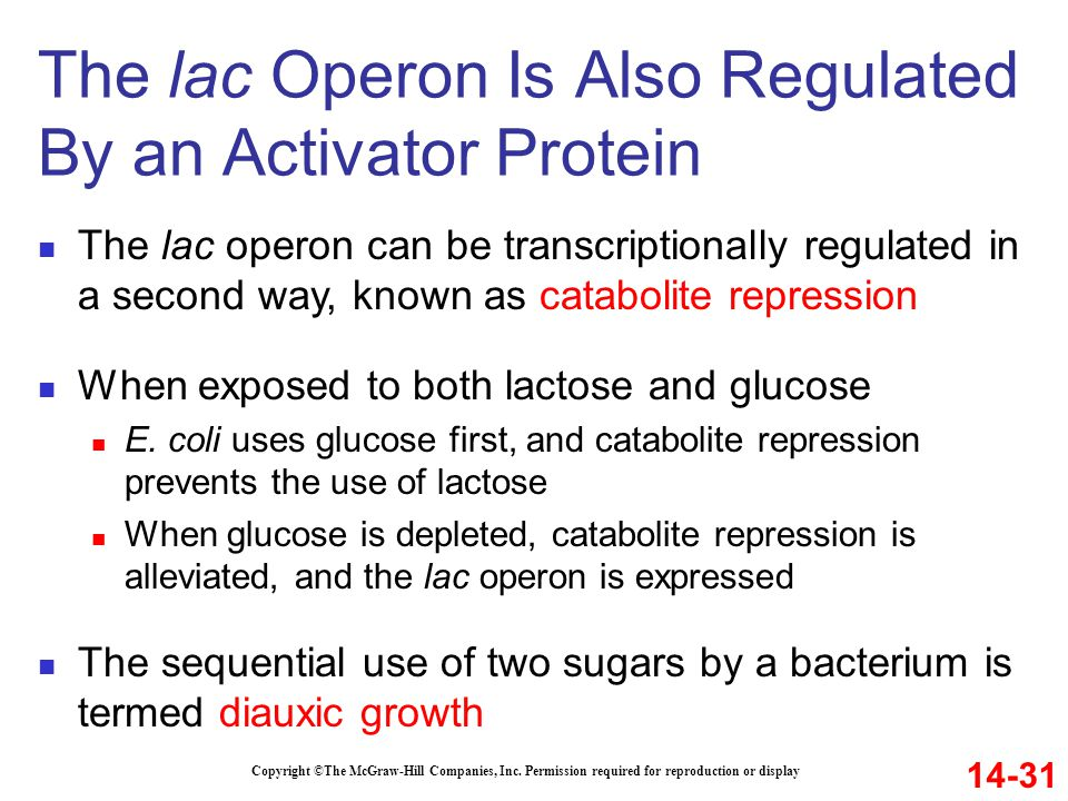 Copyright ©The McGraw-Hill Companies, Inc. Permission required for reproduction or display The lac operon can be transcriptionally regulated in a seco