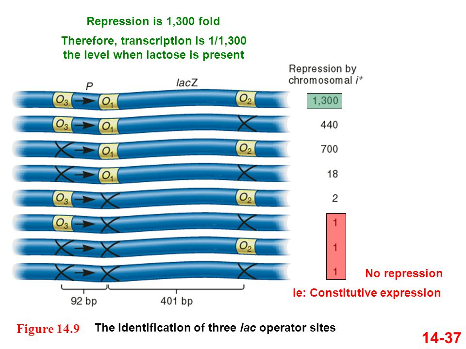 14-37 The identification of three lac operator sites Figure 14.9 Repression is 1,300 fold Therefore, transcription is 1/1,300 the level when lactose i