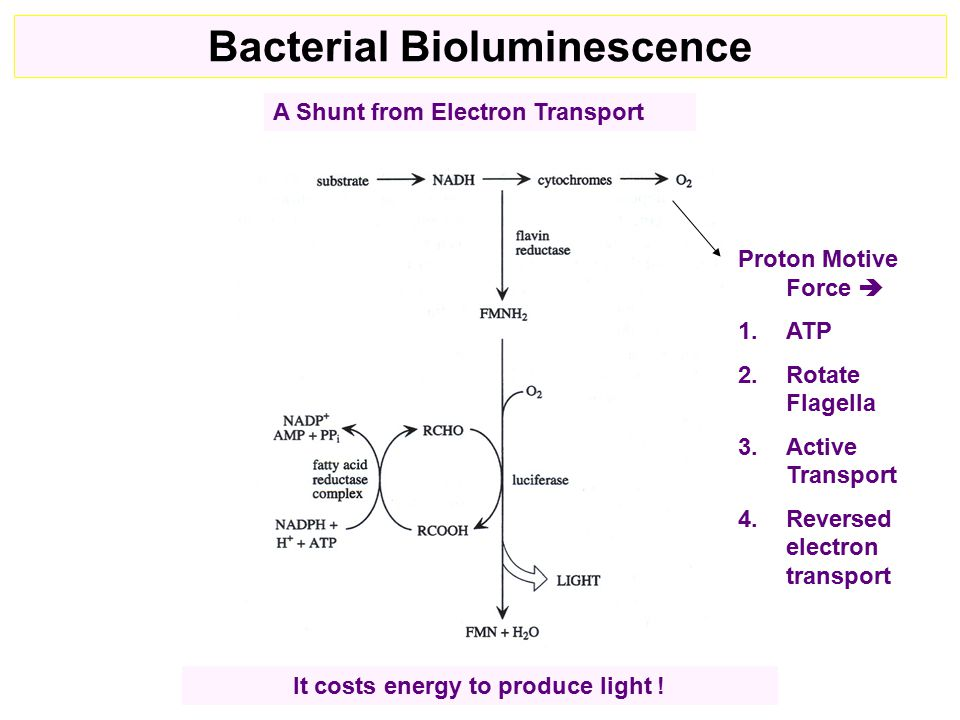 Proton Motive Force  1.ATP 2.Rotate Flagella 3.Active Transport 4.Reversed electron transport It costs energy to produce light .