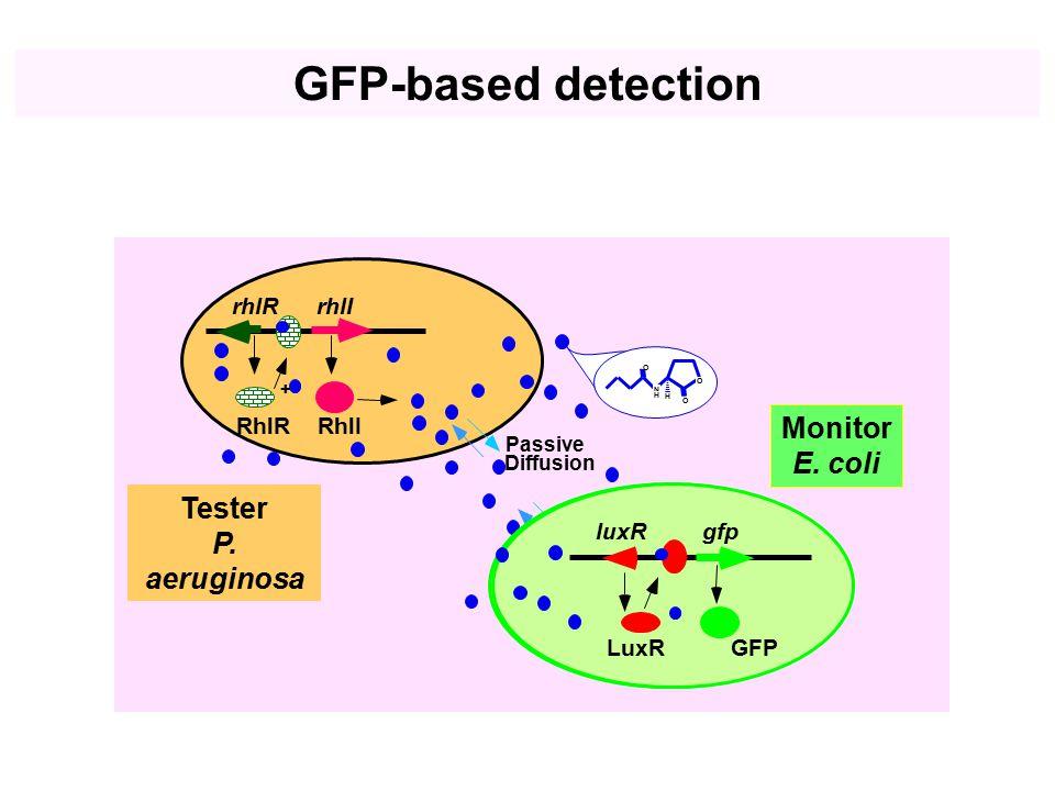 rhlIrhlR RhlIRhlR + Tester P. aeruginosa Passive Diffusion O O H N H O + Monitor E. coli P luxI -gfpluxR LuxR gfpluxR GFPLuxR GFP-based detection