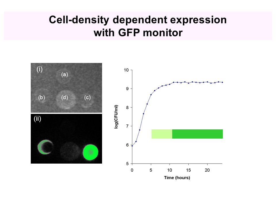 (ii) (i) (a) (b)(c)(d) Cell-density dependent expression with GFP monitor