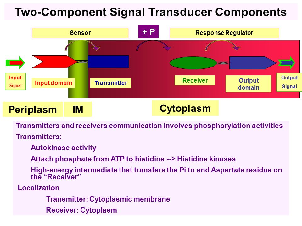 Cytoplasm IM Input domainTransmitter Sensor ReceiverOutput domain Response Regulator Input Signal Output Signal Transmitters and receivers communication involves phosphorylation activities Transmitters: Autokinase activity Attach phosphate from ATP to histidine --> Histidine kinases High-energy intermediate that transfers the Pi to and Aspartate residue on the Receiver Localization Transmitter: Cytoplasmic membrane Receiver: Cytoplasm + P Periplasm Two-Component Signal Transducer Components