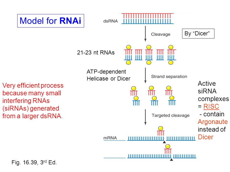 "Model for RNAi By ""Dicer"" 21-23 nt RNAs Fig. 16.39, 3 rd Ed. ATP-dependent Helicase or Dicer Active siRNA complexes = RISC - contain Argonaute instead"