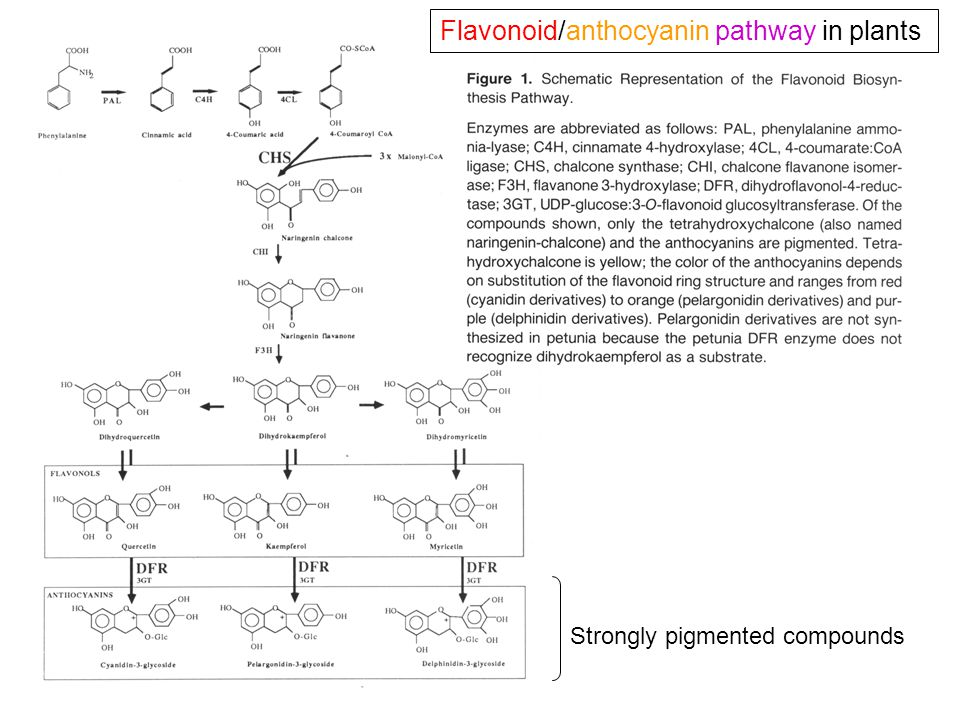Flavonoid/anthocyanin pathway in plants Strongly pigmented compounds