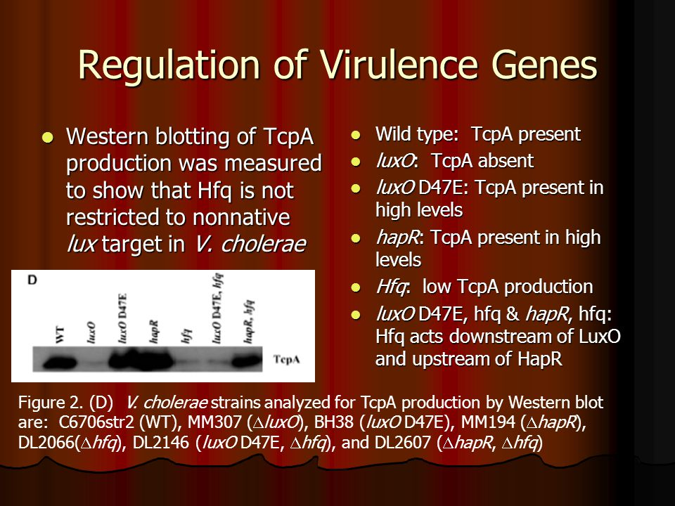 Regulation of Virulence Genes Western blotting of TcpA production was measured to show that Hfq is not restricted to nonnative lux target in V.