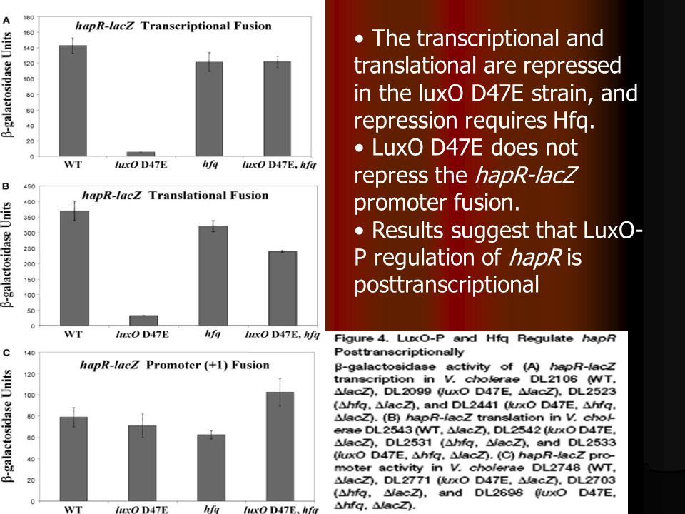 The transcriptional and translational are repressed in the luxO D47E strain, and repression requires Hfq.
