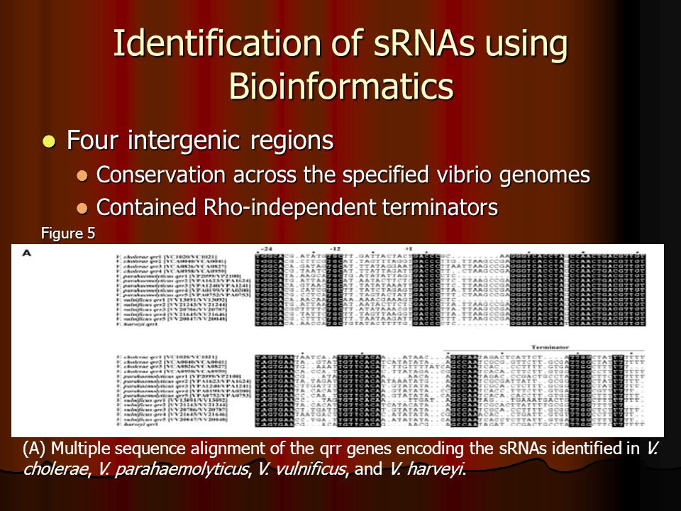 Identification of sRNAs using Bioinformatics Four intergenic regions Four intergenic regions Conservation across the specified vibrio genomes Conservation across the specified vibrio genomes Contained Rho-independent terminators Contained Rho-independent terminators Figure 5 (A) Multiple sequence alignment of the qrr genes encoding the sRNAs identified in V.
