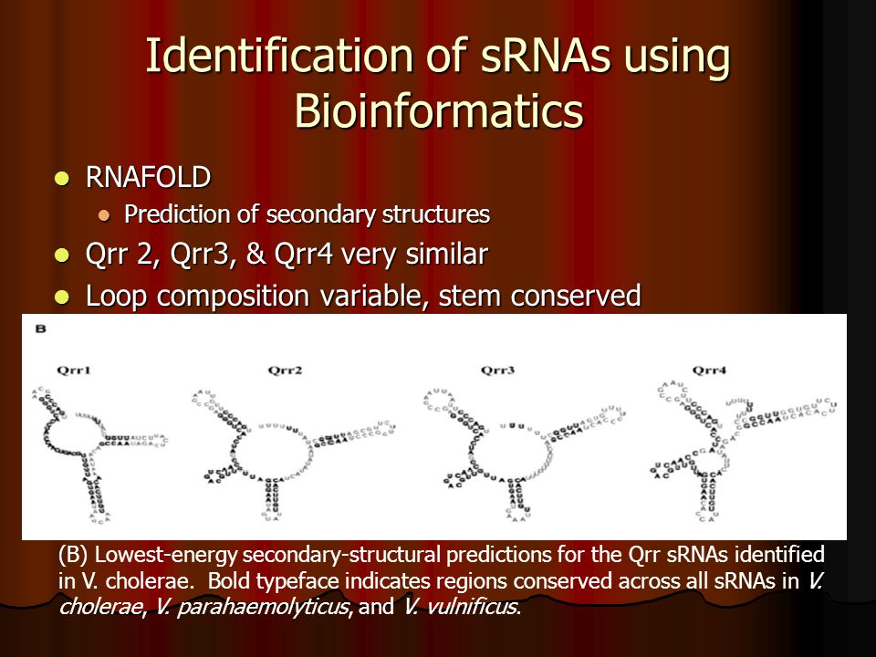 Identification of sRNAs using Bioinformatics RNAFOLD RNAFOLD Prediction of secondary structures Prediction of secondary structures Qrr 2, Qrr3, & Qrr4 very similar Qrr 2, Qrr3, & Qrr4 very similar Loop composition variable, stem conserved Loop composition variable, stem conserved (B) Lowest-energy secondary-structural predictions for the Qrr sRNAs identified in V.