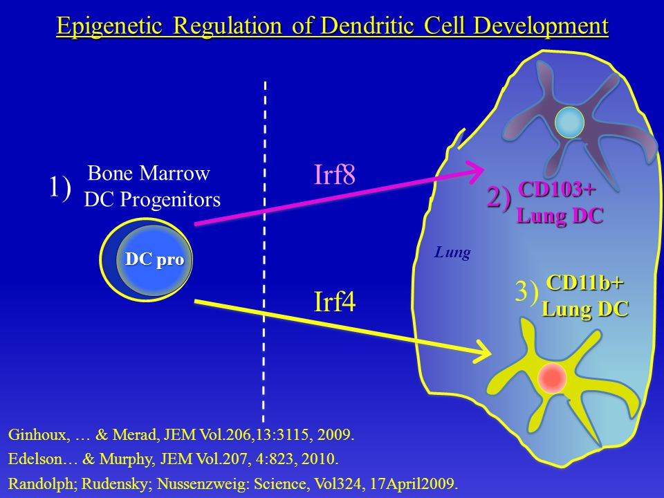 Lung CD103+ Lung DC Bone Marrow DC Progenitors CD11b+ Lung DC Epigenetic Regulation of Dendritic Cell Development 1) 2) 3) DC pro Randolph; Rudensky; Nussenzweig: Science, Vol324, 17April2009.