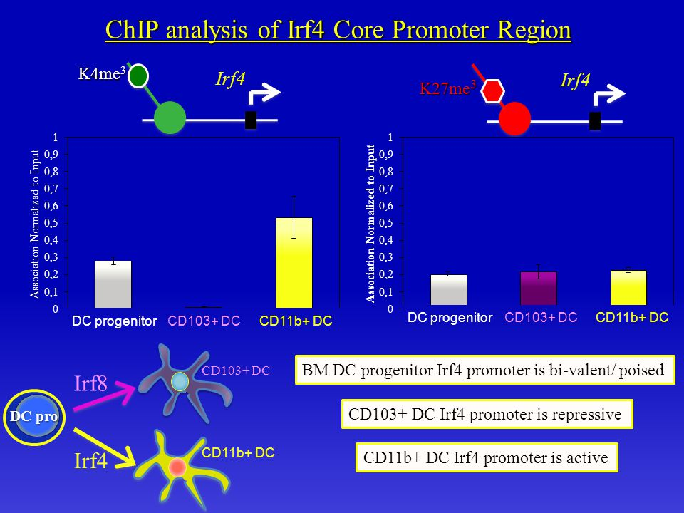 CD103+ DCCD11b+ DCDC progenitor ChIP analysis of Irf4 Core Promoter Region Irf4 K4me 3 Irf4 K27me 3 CD103+ DC Irf4 promoter is repressive CD11b+ DC Irf4 promoter is active BM DC progenitor Irf4 promoter is bi-valent/ poised Irf8 Irf4 CD103+ DCCD11b+ DCDC progenitor DC pro CD103+ DC CD11b+ DC