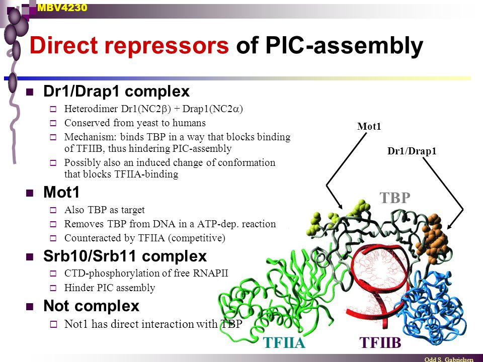 MBV4230 Odd S. Gabrielsen Direct repressors of PIC-assembly Dr1/Drap1 complex  Heterodimer Dr1(NC2  ) + Drap1(NC2  )  Conserved from yeast to huma