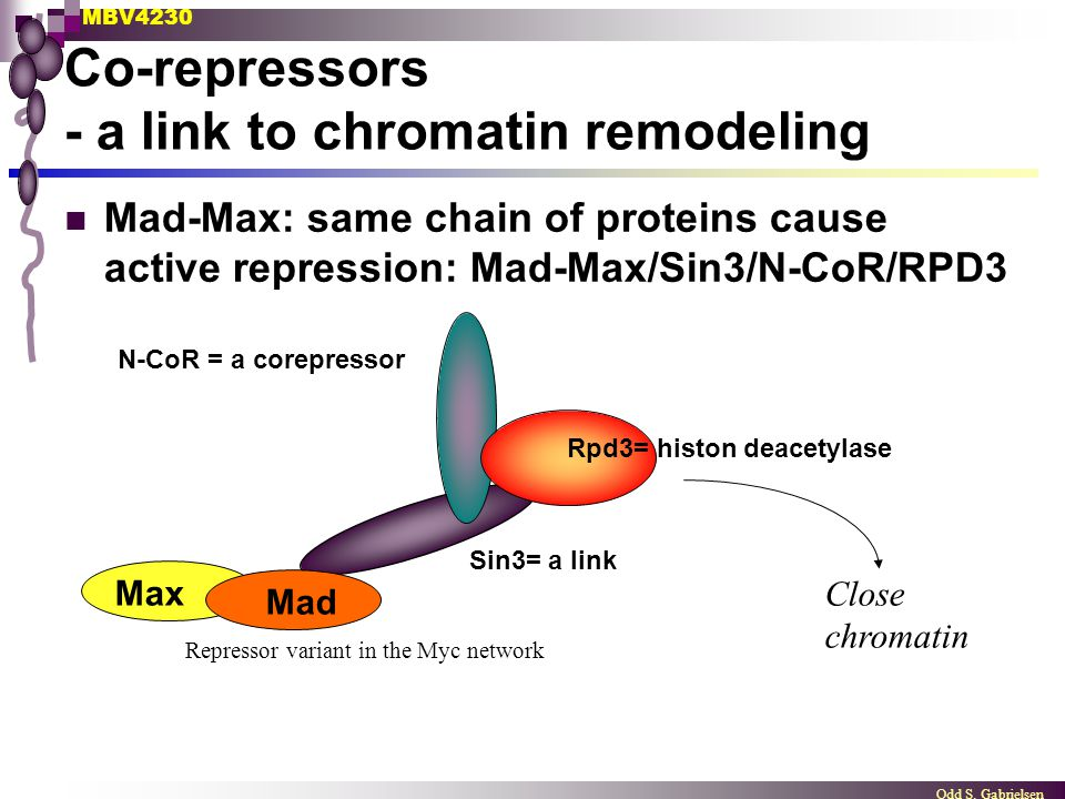 MBV4230 Odd S. Gabrielsen Co-repressors - a link to chromatin remodeling Mad-Max: same chain of proteins cause active repression: Mad-Max/Sin3/N-CoR/R