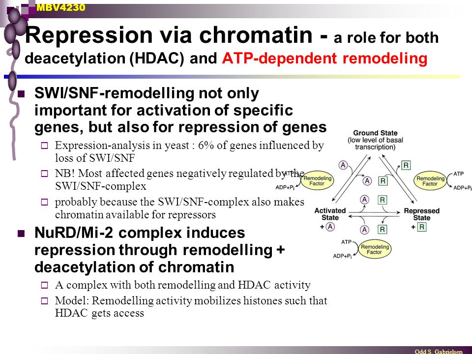 MBV4230 Odd S. Gabrielsen Repression via chromatin - a role for both deacetylation (HDAC) and ATP-dependent remodeling SWI/SNF-remodelling not only im