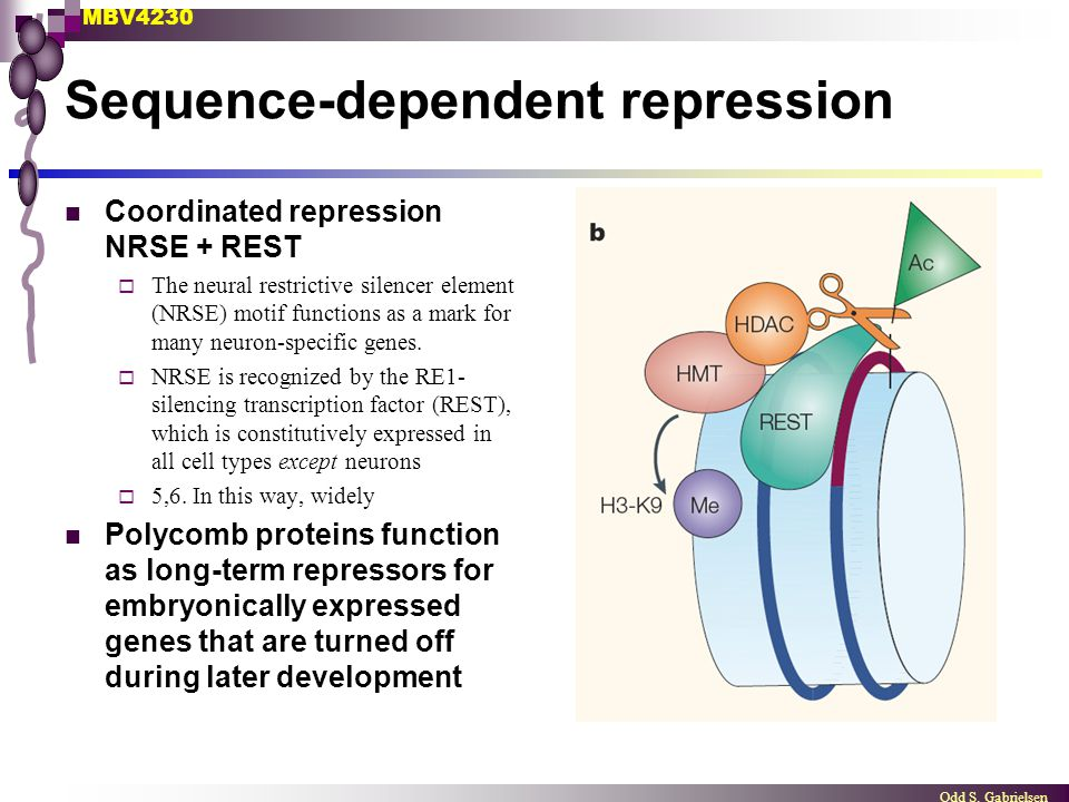 MBV4230 Odd S. Gabrielsen Sequence-dependent repression Coordinated repression NRSE + REST  The neural restrictive silencer element (NRSE) motif func