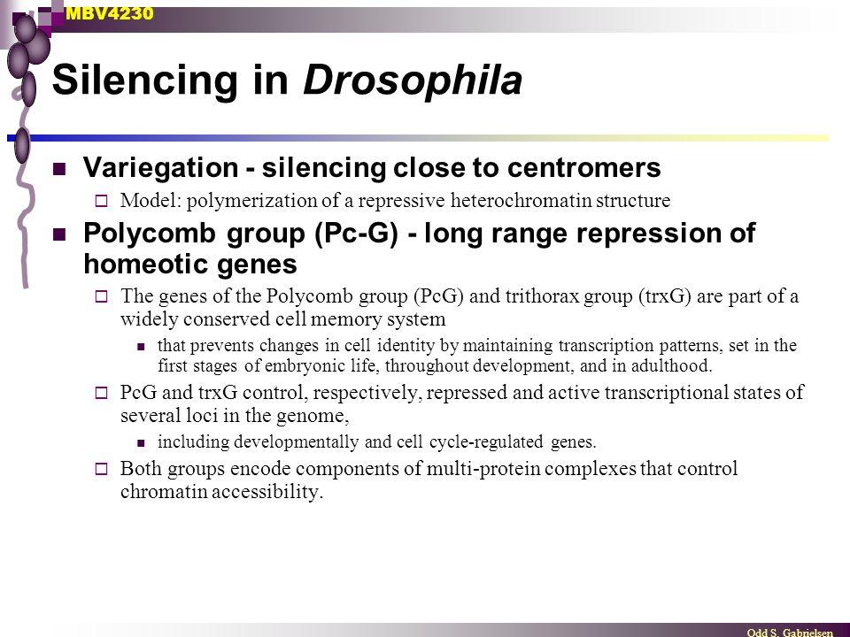 MBV4230 Odd S. Gabrielsen Silencing in Drosophila Variegation - silencing close to centromers  Model: polymerization of a repressive heterochromatin