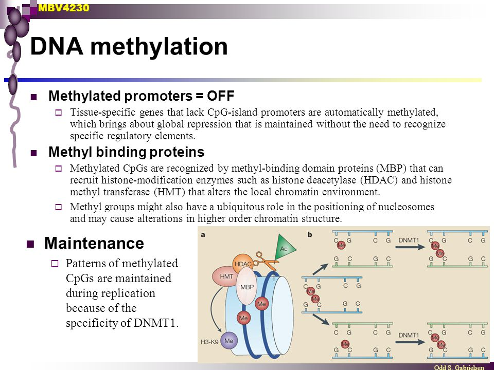 MBV4230 Odd S. Gabrielsen DNA methylation Methylated promoters = OFF  Tissue-specific genes that lack CpG-island promoters are automatically methylat
