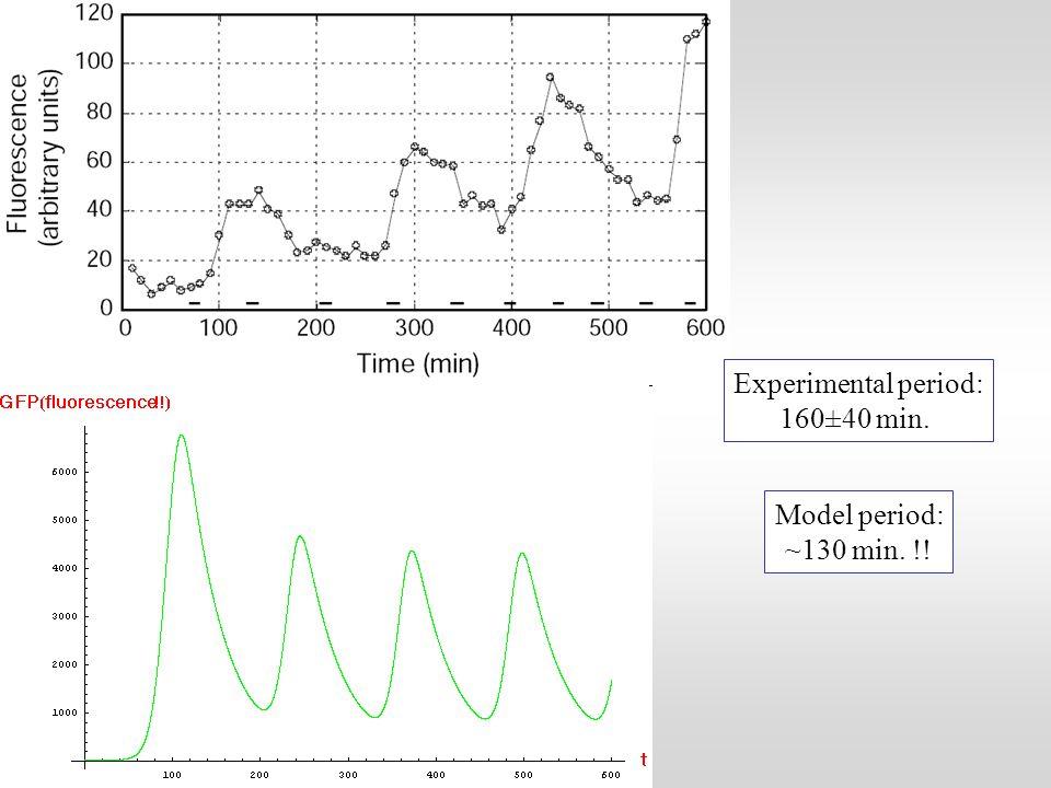 Experimental period: 160±40 min. Model period: ~130 min. !!