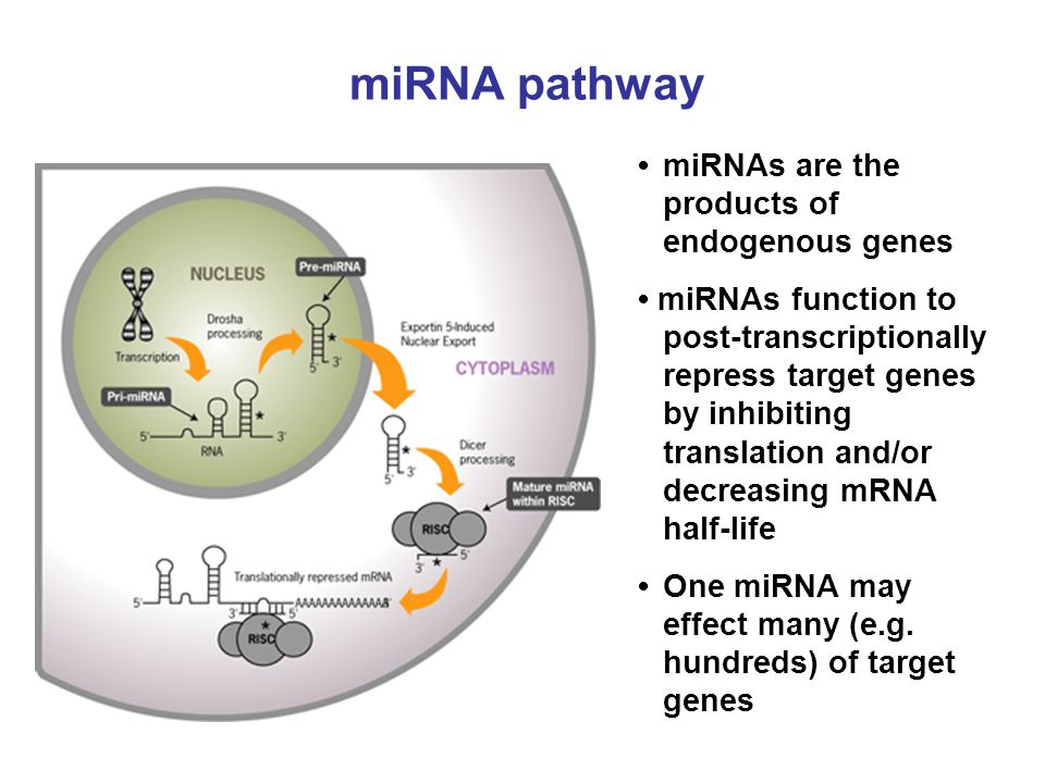 miRNA pathway miRNAs are the products of endogenous genes miRNAs function to post-transcriptionally repress target genes by inhibiting translation and