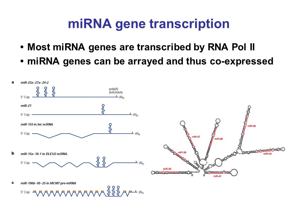 miRNA gene transcription Most miRNA genes are transcribed by RNA Pol II miRNA genes can be arrayed and thus co-expressed