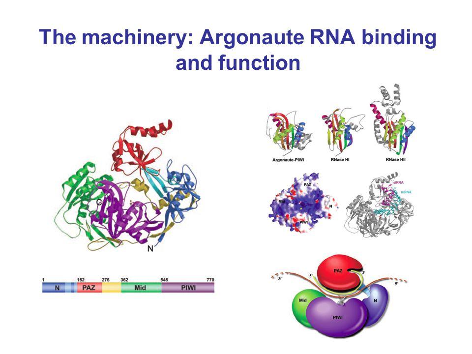 The machinery: Argonaute RNA binding and function