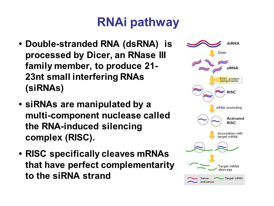 RNAi pathway Double-stranded RNA (dsRNA) is processed by Dicer, an RNase III family member, to produce 21- 23nt small interfering RNAs (siRNAs) siRNAs