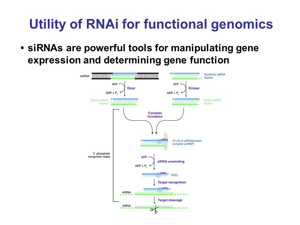 Utility of RNAi for functional genomics siRNAs are powerful tools for manipulating gene expression and determining gene function
