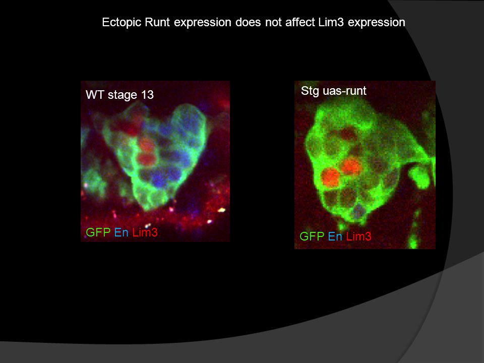 Ectopic Runt expression does not affect Lim3 expression GFP En Lim3 WT stage 13 Stg uas-runt