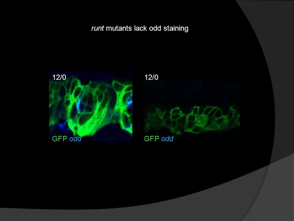 runt mutants lack odd staining GFP odd 12/0