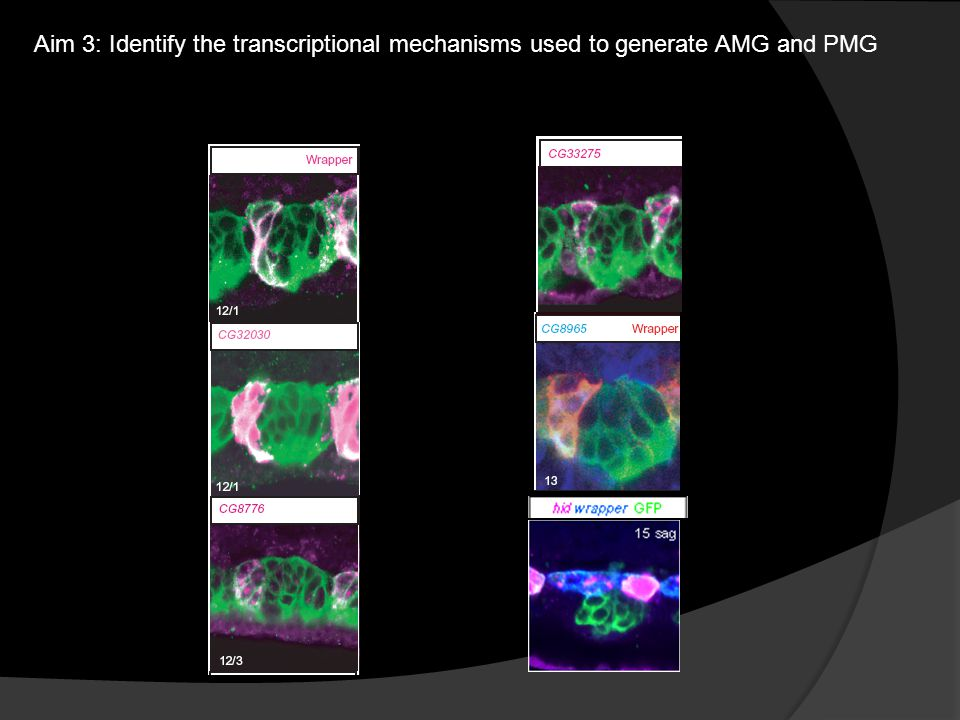Aim 3: Identify the transcriptional mechanisms used to generate AMG and PMG