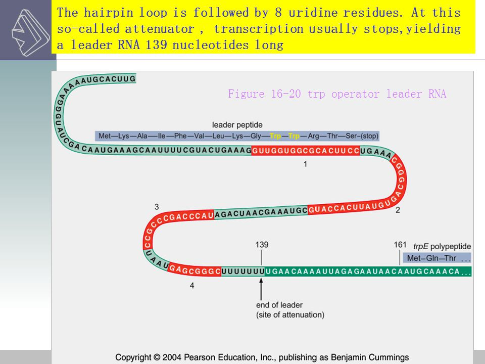 The hairpin loop is followed by 8 uridine residues. At this so-called attenuator, transcription usually stops,yielding a leader RNA 139 nucleotides lo