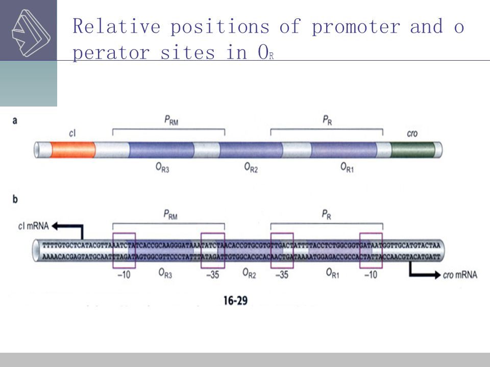 Relative positions of promoter and o perator sites in O R