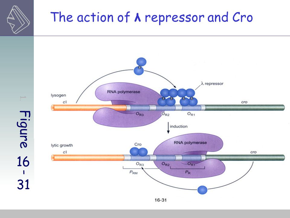 1. Figure 16-31 The action of λ repressor and Cro