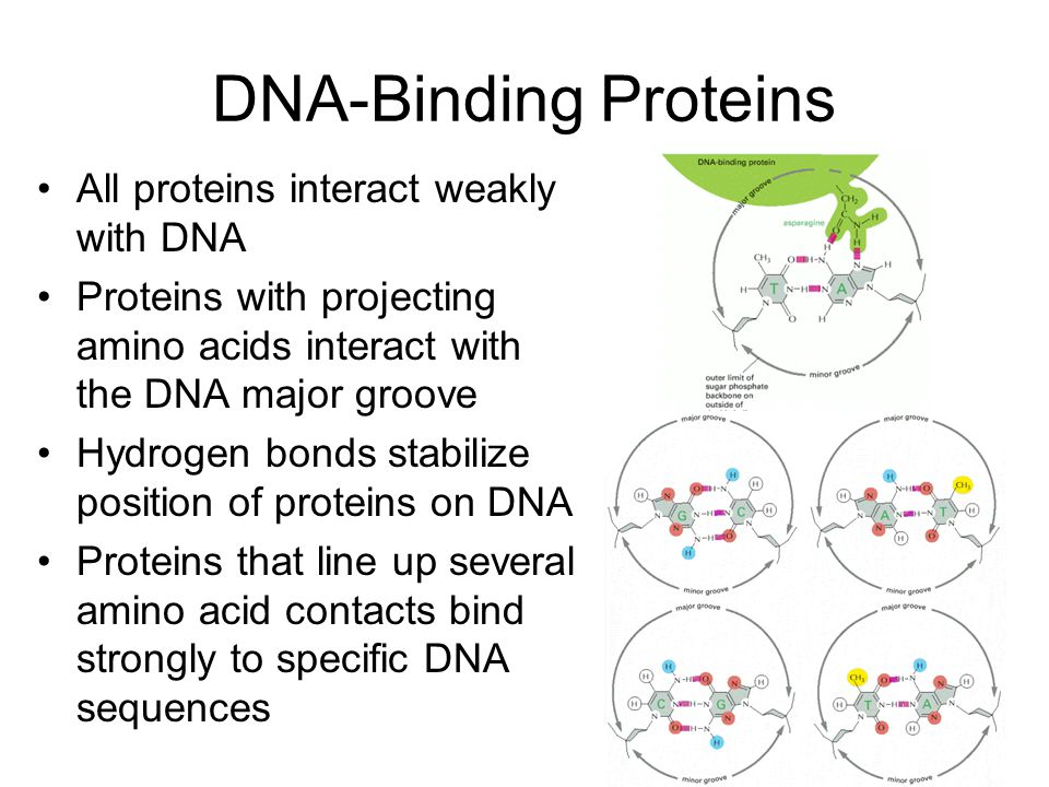 DNA-Binding Proteins All proteins interact weakly with DNA Proteins with projecting amino acids interact with the DNA major groove Hydrogen bonds stabilize position of proteins on DNA Proteins that line up several amino acid contacts bind strongly to specific DNA sequences